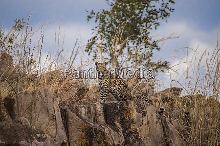 africa botswana chobe national park leopard