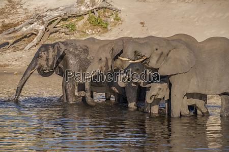 africa botswana chobe national park elephants