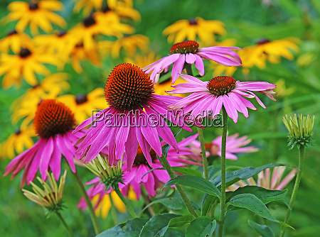 blooming sun hat echinacea purpurea in