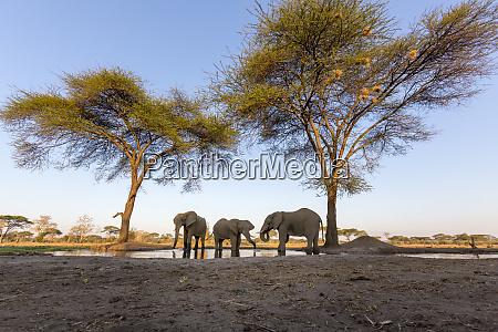 africa botswana senyati safari camp elephants