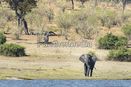 africa botswana chobe national park male