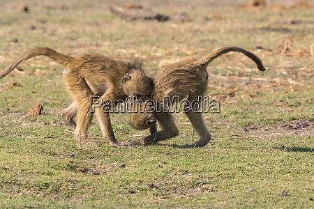 young baboons papio cynocephalus play along