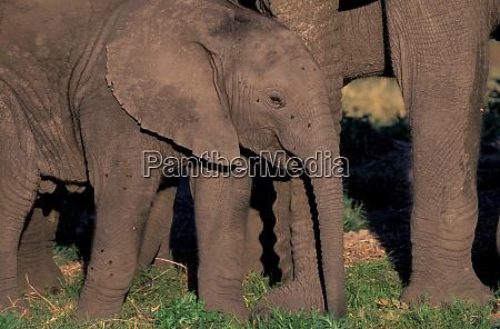 africa botswana okavango delta elephants loxodanta