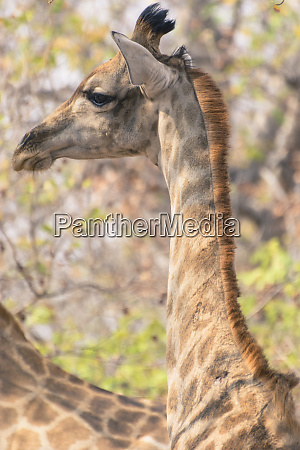 botswana chobe national park giraffe giraffa