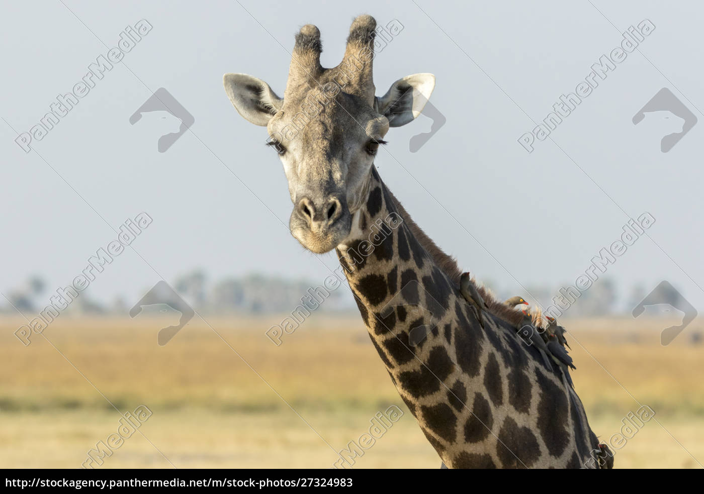 africa, , botswana, , chobe, national, park., close-up - 27324983
