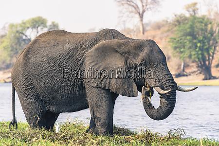 botswana chobe national park elephant loxodonta