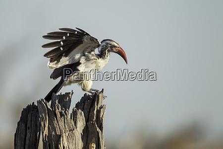 africa botswana chobe national park southern