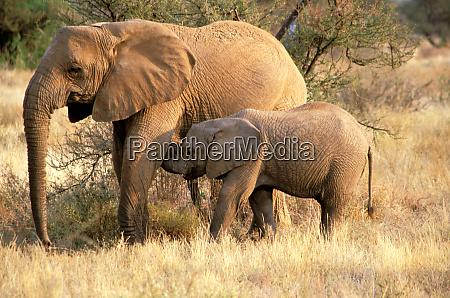 africa botswana moremi elephant nursing loxodanta