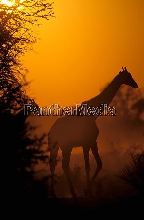 africa botswana moremi wildlife reserve southern