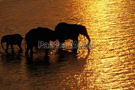 africa botswana okavango delta african elephants