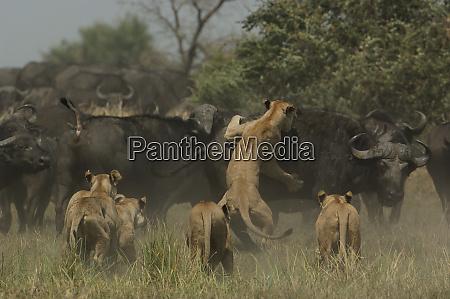 lions panthera leo hunting buffalo syncerus