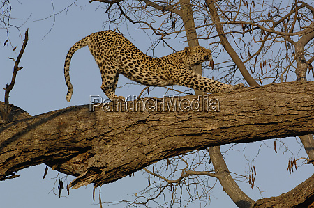 leopard panthera pardus female stretching after