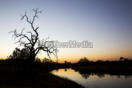 africa botswana chobe national park gnarled