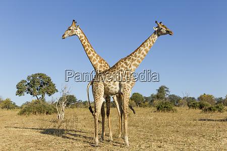 africa botswana chobe national park giraffe