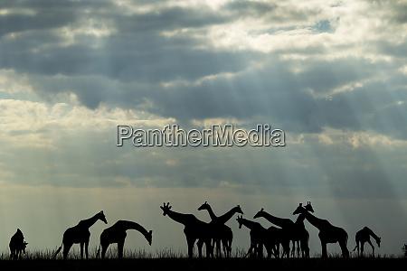 africa botswana chobe national park silhouette