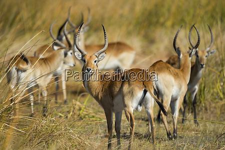africa botswana moremi game reserve southern