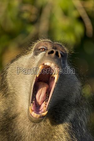 africa botswana chobe national park adult