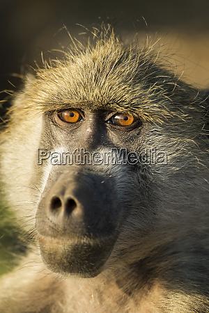 africa botswana chobe national park portrait