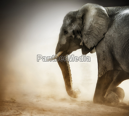 elephant kneeling with dust