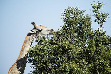 giraffe eating from acacia tree