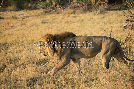male lion stalking in grass