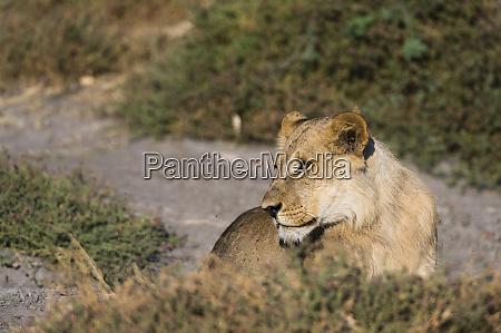 lion panthera leo savuti marsh chobe