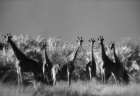 reticulated giraffe standing in forest