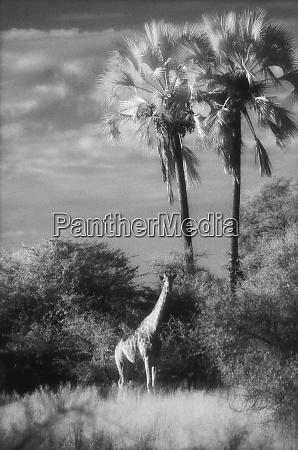 botswana giraffe giraffa camelopardalis