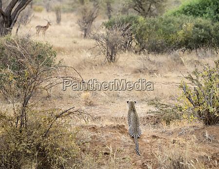 africa kenya leopard eying antelope