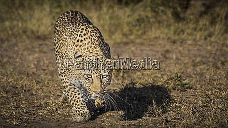 africa kenya leopard ready to attack