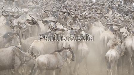 africa kenya dusty wildebeest herd
