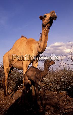 africa kenya nanyuki dromedary camel mother