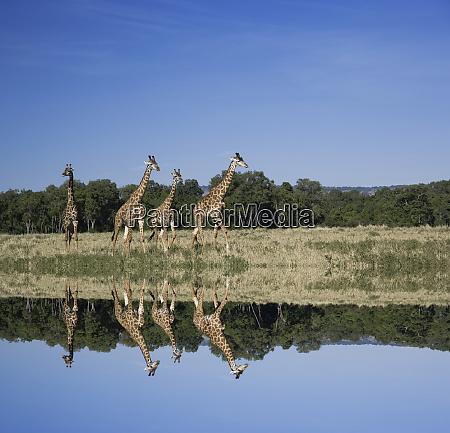 masai giraffes giraffa camelopardalis masai mara