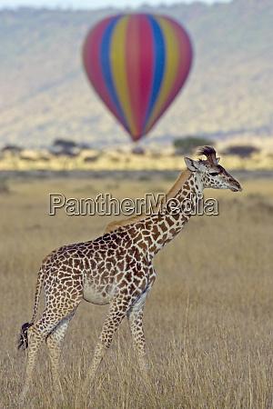 masai giraffe giraffa camelopardalis tippelskirchi on