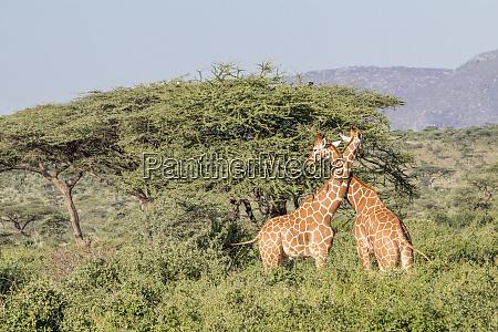 africa kenya samburu national park reticulated