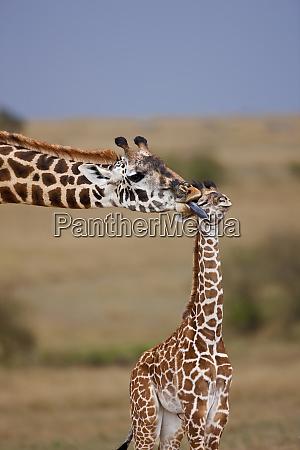 maasai giraffe giraffe tippelskirchi in the
