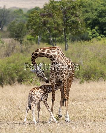 kenya giraffe mother baby feeding