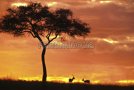 gazelle grazing under acacia tree at