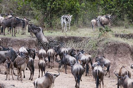 common zebras equus quagga and wildebeest