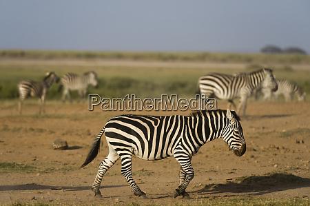 common zebras equus quagga amboseli national