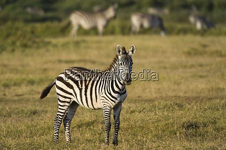 common zebra equus quagga amboseli national