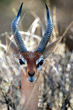 kenya samburu national wildlife preserve portrait