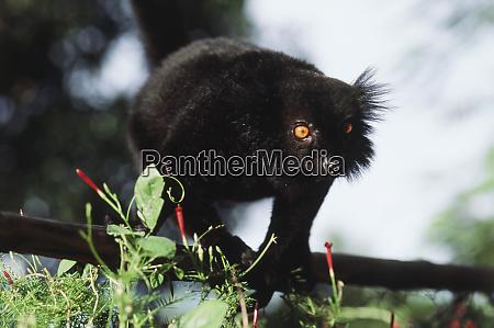 madagascar lemur standing and portrait