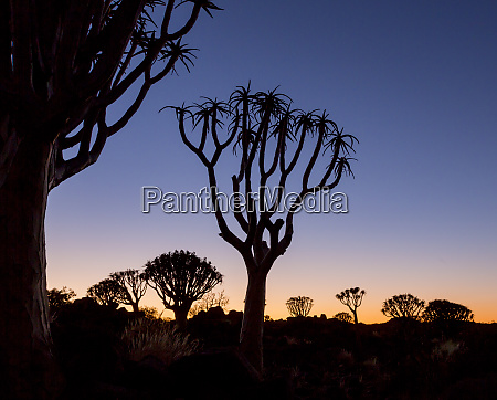africa namibia keetmanshoop quiver trees silhouetted