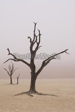 namibia fog shrouds the dead acacia