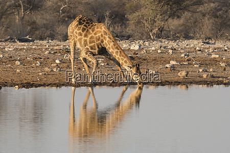 giraffe giraffa camelopardalis angiogenesis drinks water
