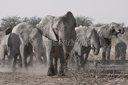 etosha national park namibia africa a