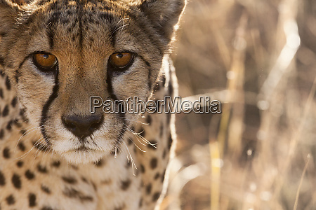 cheetah conservation fund namibia africa off