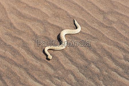 africa namibia swakopmund peringueys desert adder