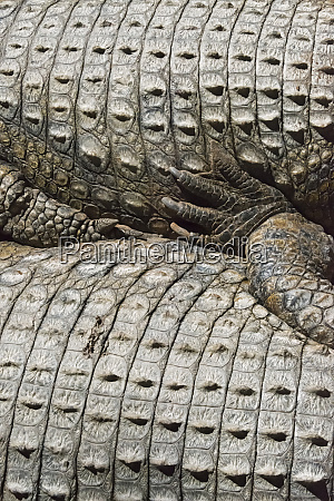 crocodile western cape province south africa